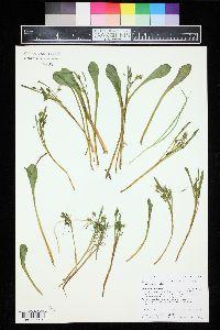 Claytonia megarhiza image