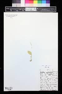 Malaxis brachypoda image