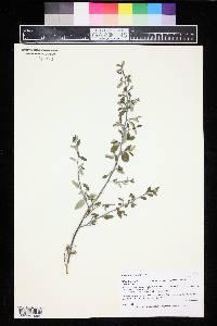 Ceanothus fendleri image