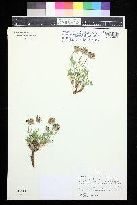 Image of Trifolium dasyphyllum