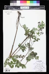 Thalictrum dasycarpum image