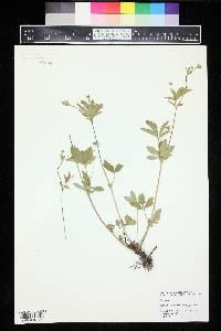 Potentilla simplex var. typica image