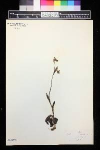 Ophrys apifera image