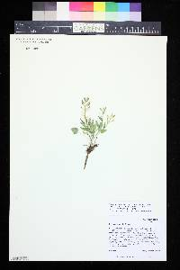 Image of Eutrema penlandii