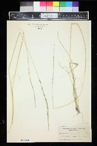 Image of Sporobolus berteroanus