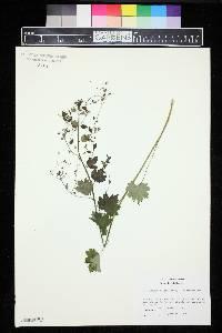 Sullivantia oregana image