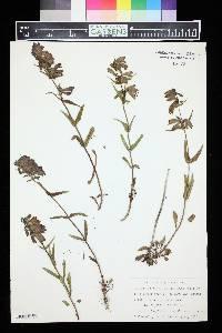 Penstemon whippleanus image