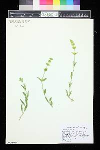 Image of Sideritis glacialis