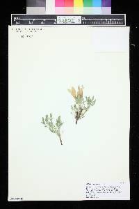 Image of Salvia caespitosa