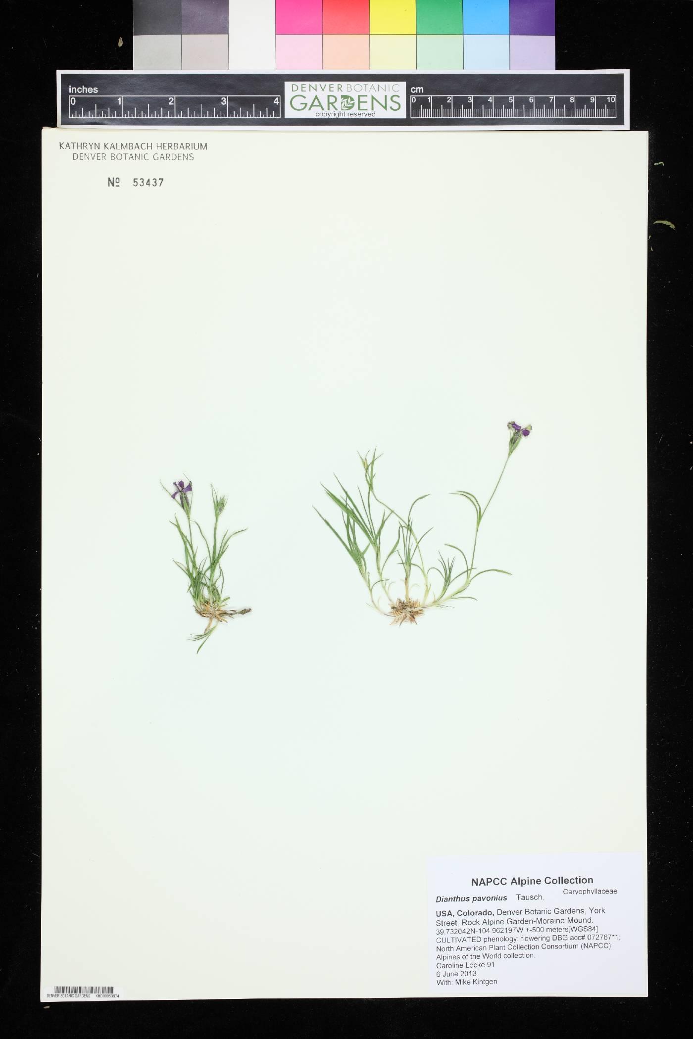 Dianthus pavonius image