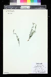 Baccharis wrightii image