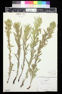 Image of Lithospermum ruderale
