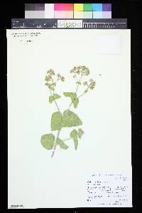 Image of Mirabilis rotundifolia