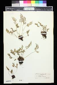 Cryptogramma acrostichoides image