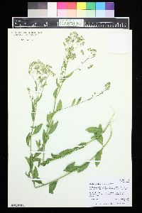 Image of Lepidium chalepense