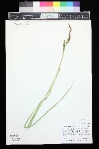 Image of Carex nebrascensis