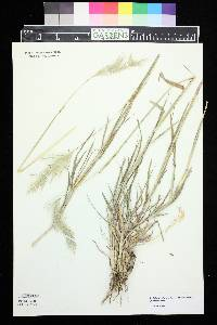 Bothriochloa laguroides image