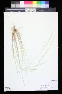 Puccinellia nuttalliana image