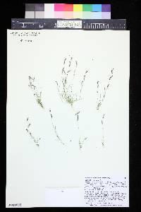 Image of Chondrosum barbatum