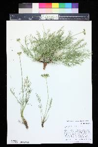 Image of Aletes tenuifolius