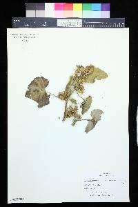 Xanthium strumarium var. glabratum image