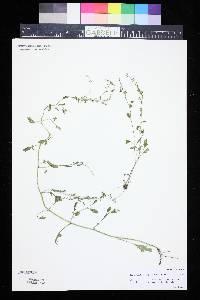 Rorippa sphaerocarpa image