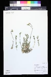 Cerastium arvense image