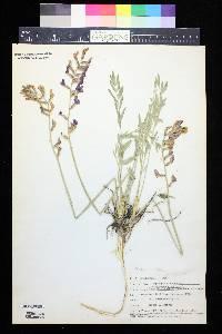 Image of Aragallus albiflorus