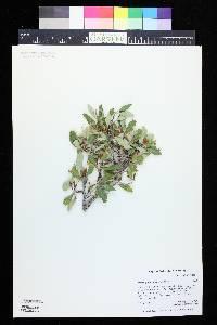 Cercocarpus montanus image