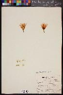 Image of Mammillaria guelzowiana