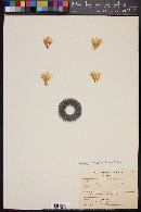 Image of Mammillaria carretii