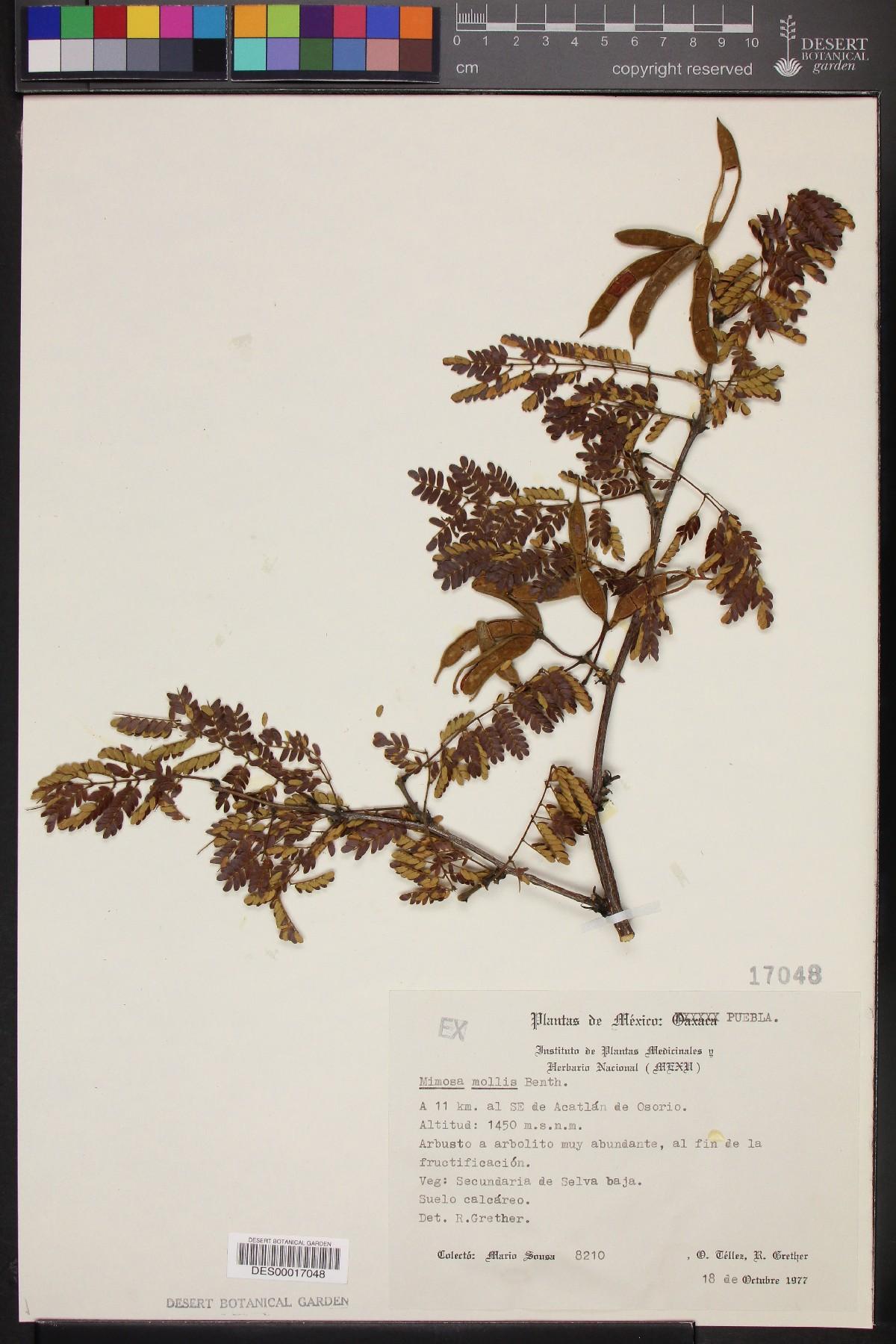 Mimosa mollis image