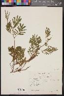 Mimosa platycarpa image