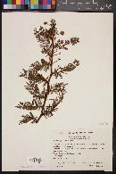 Mimosa galeottii image