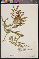 Mimosa adenantheroides image