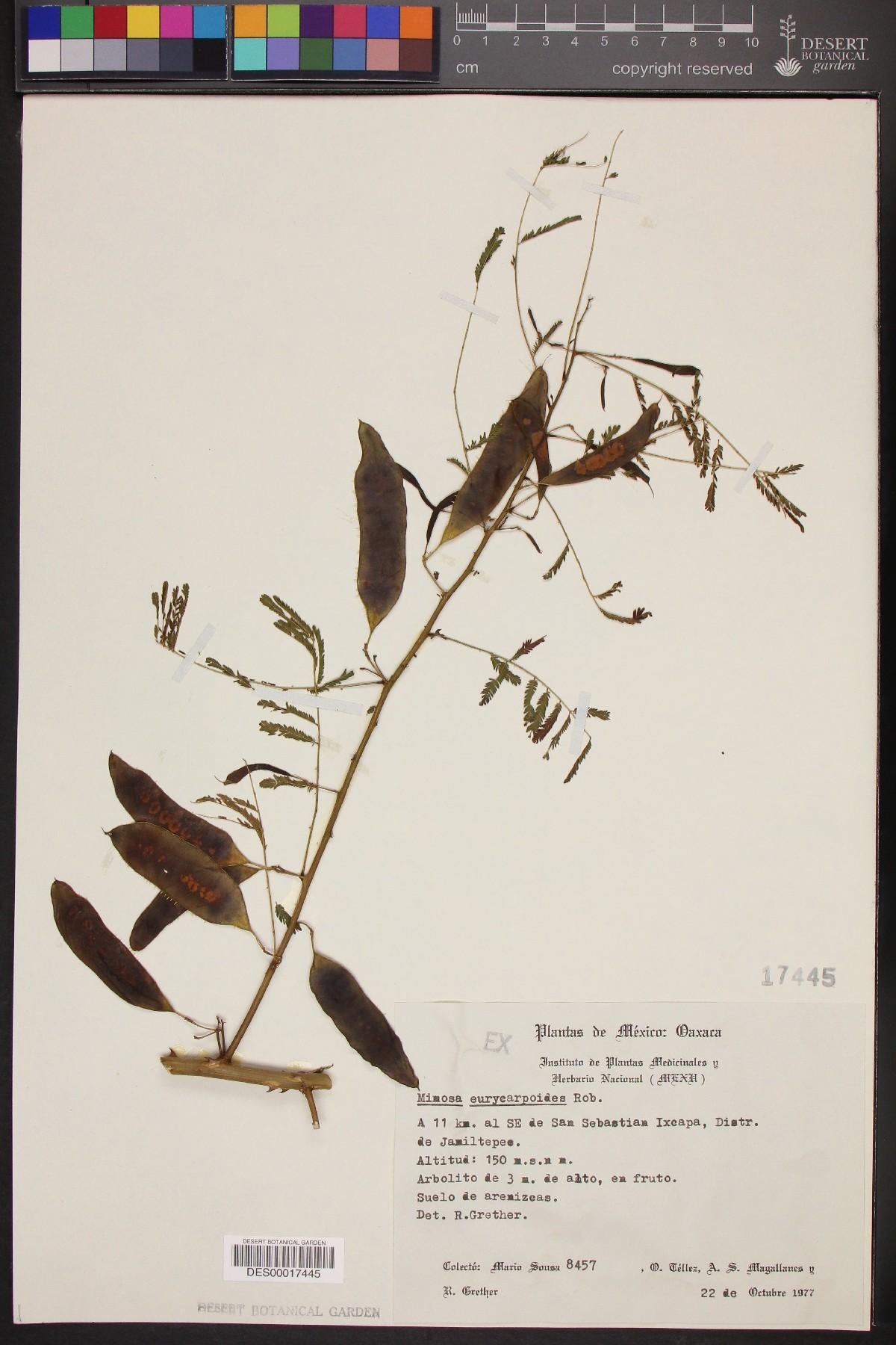 Mimosa eurycarpa image