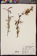 Image of Mimosa glutinosa