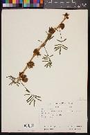 Mimosa diplotricha image