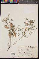 Mimosa rhodocarpa image