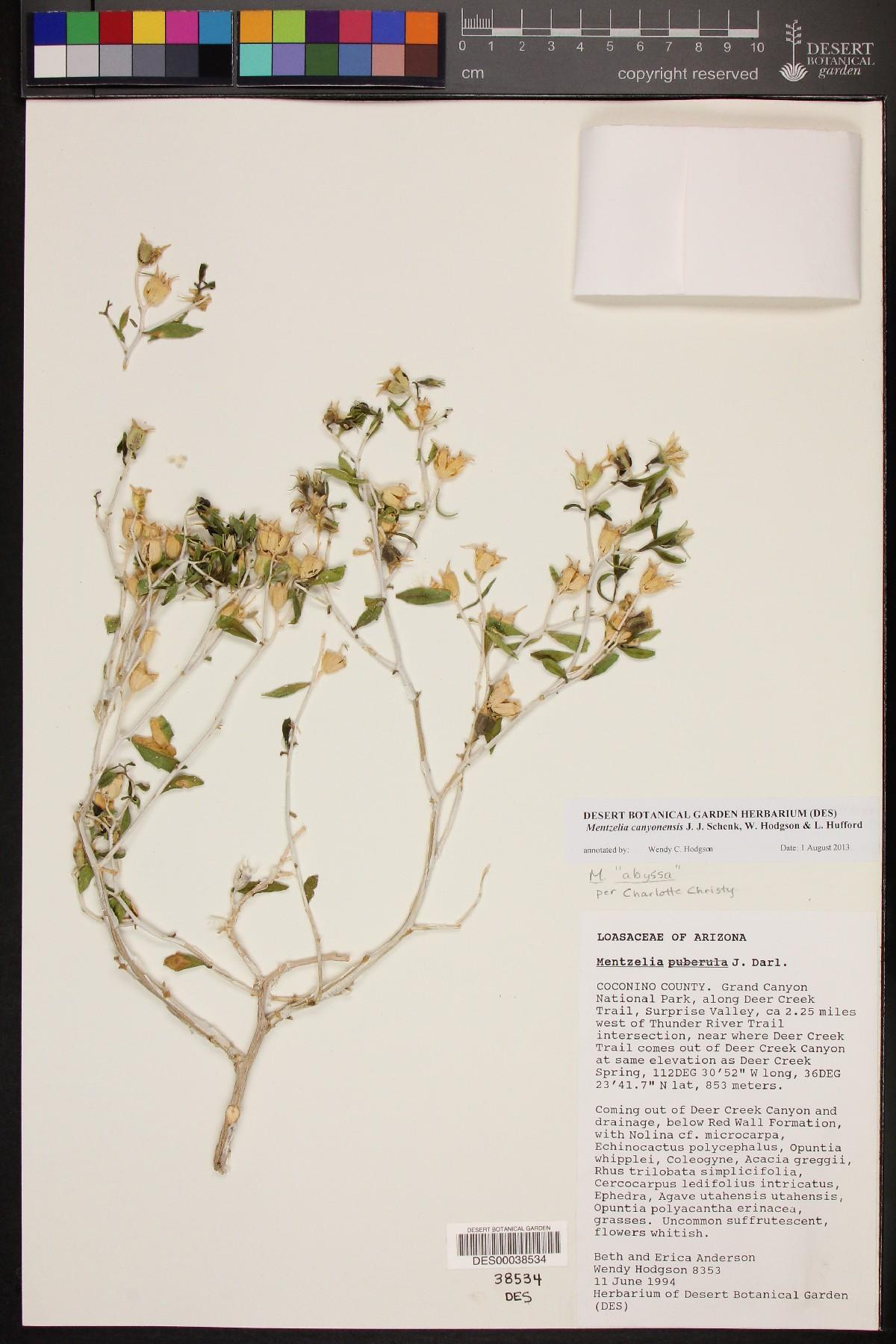 Mentzelia canyonensis image