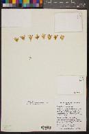 Image of Mammillaria polythele