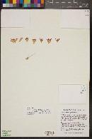 Image of Mammillaria mystax