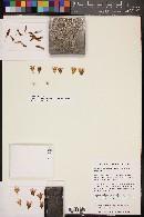 Image of Mammillaria guerreronis