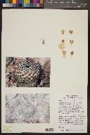 Image of Mammillaria petterssonii