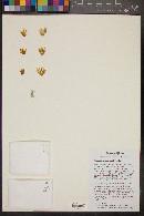 Image of Mammillaria winterae