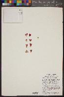 Image of Mammillaria backebergiana