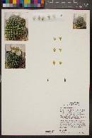 Image of Mammillaria wildii
