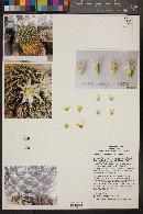 Image of Mammillaria pilispina