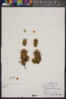 Image of Mammillaria fittkaui