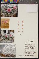 Image of Mammillaria perbella